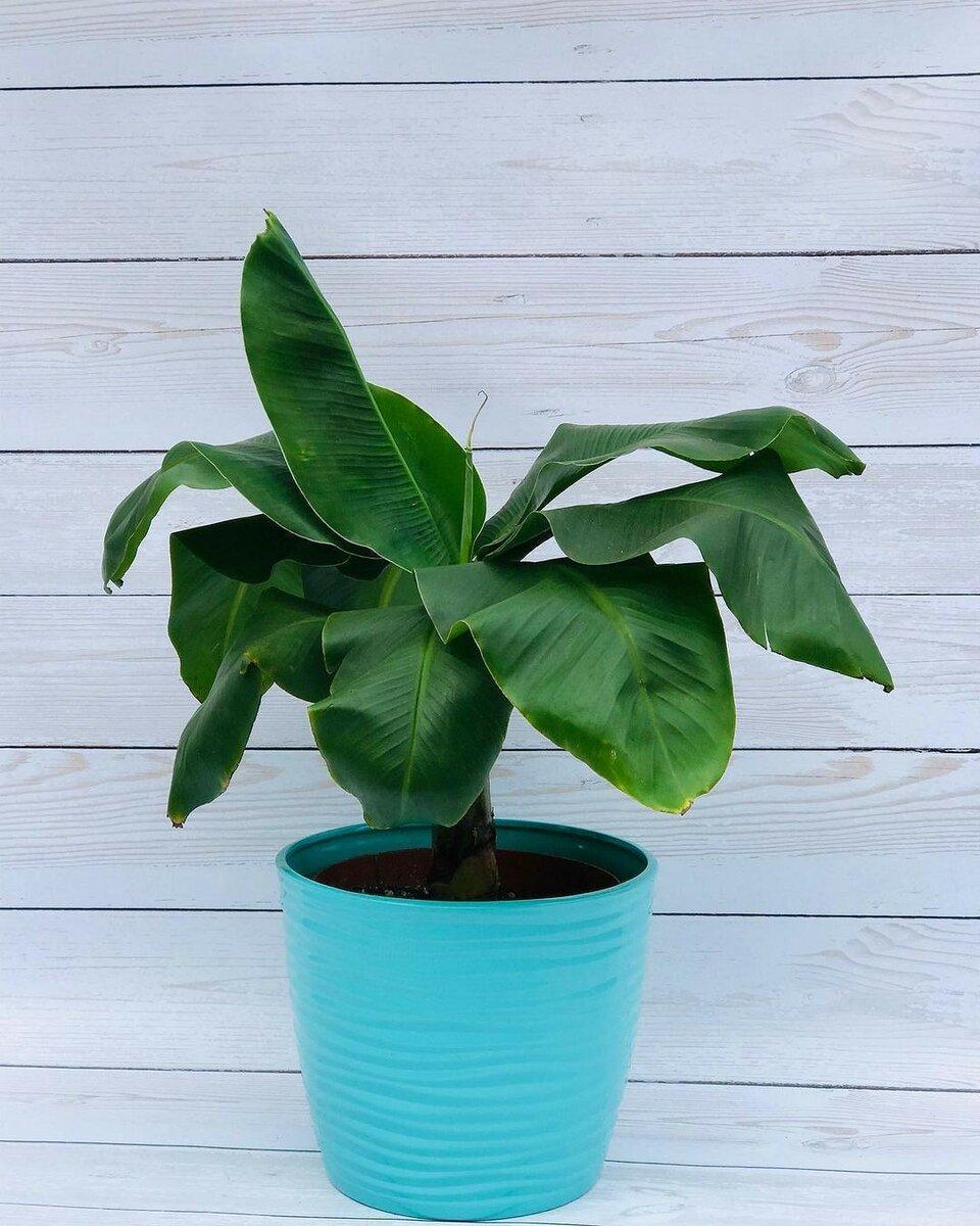 6 растений с крупными листьями, которые сделают вашу квартиру самой стильной