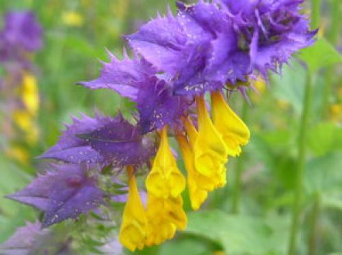 Иван да марья цветок полезные свойства. Описание травы и ареал произрастания