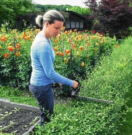 Многолетние цветы для живой изгороди. Вечнозеленые растения
